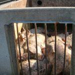 仲良く過密に暮らす豚