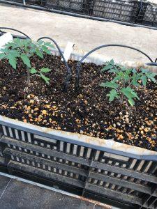 BSK菌のたい肥で合羽井するトマトの苗