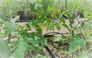 栽培1ヶ月たったBSK菌堆肥で作ったトマト。